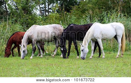 Beautiful Purebred Arabian Horses Grazing On Pasture Summertime
