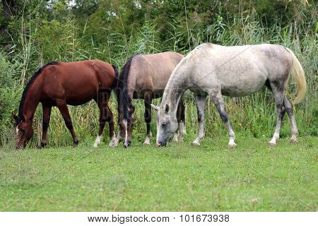 Group Of Thoroughbred Arabian Foals And Mares Grazing Fresh Green Grass