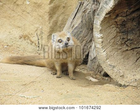 Mongoose fox