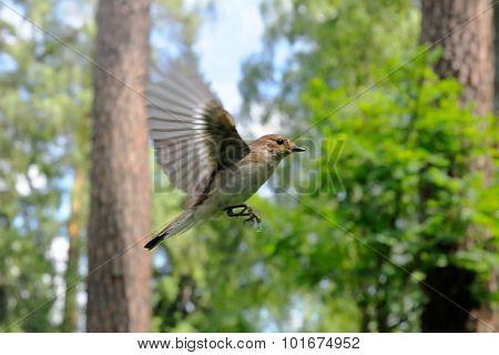 Flying Female Pied Flycatcher