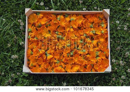 Calendula Marigold Picked In Wooden Box In Garden