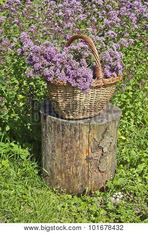 Origanum Picked In Wicker Basket In Garden