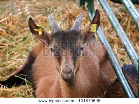 Saanen Goatling