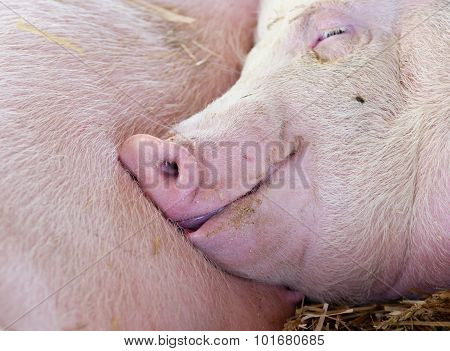Pig Sleeping In Barn