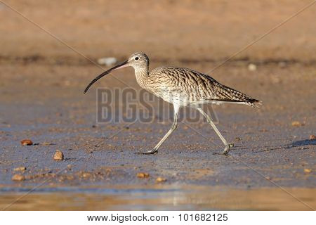 Early Morning Curlew Walking At Sharm El-sheikh Beach Of Red Sea