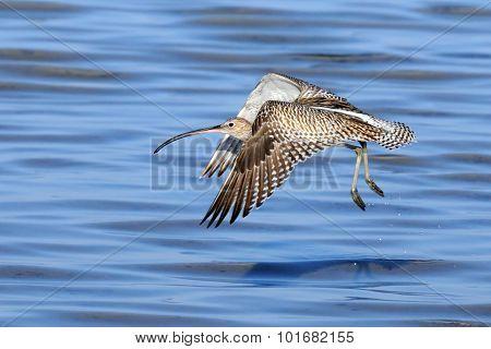Flying Curlew At Sharm El-sheikh Beach Of Red Sea