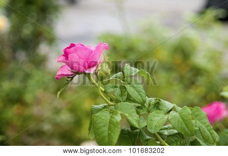 A Red Rose On A Natural Background.