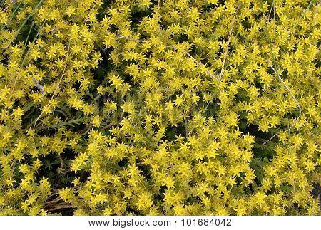Blossoming Moss, Stonecrop Sedum Planting For Landscape Design