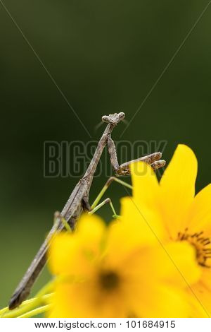 Praying Mantis Adult Male On Flower