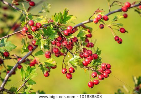 Nice abstract hawthorn twig with red berry