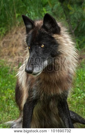 Black Phase Grey Wolf (canis Lupus) Sits Looking Left