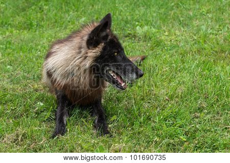 Black Phase Grey Wolf (canis Lupus) Lies In Grass Looking Right