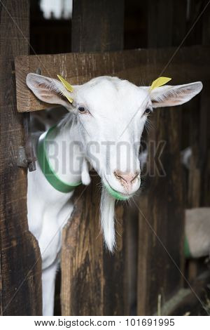 Portrait of a goat in an animal stable