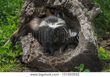 Striped Skunk (mephitis Mephitis) Stands Guard Over Kit In Log