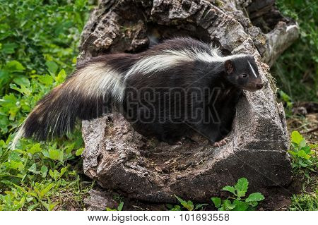 Adult Striped Skunk (mephitis Mephitis) Stands In Hollow Log