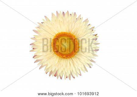 Strawflower Plant (xerochrysum Bracteatum) Isolated From The Background