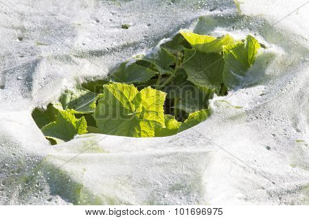 plastic mulch and cucumber leaves