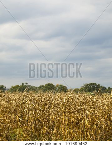 Dry Corn Field Under Storm Clouds
