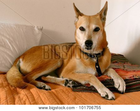 Dog lying on owner's bed