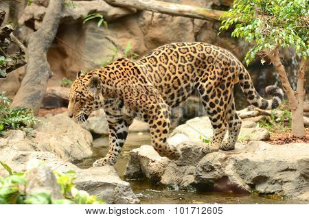 American leopard in Loro Park in Puerto de la Cruz on Tenerife, Canary Islands, Spain