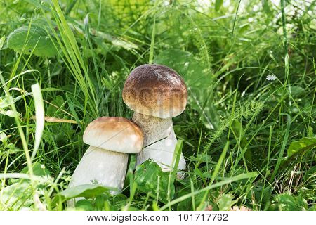 Beautiful cep in grass