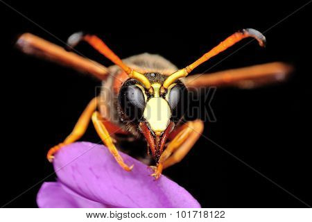 Median wasp (Dolichovespula) portrait