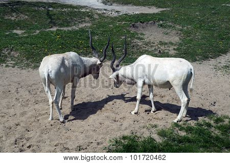 Addax Facing Off