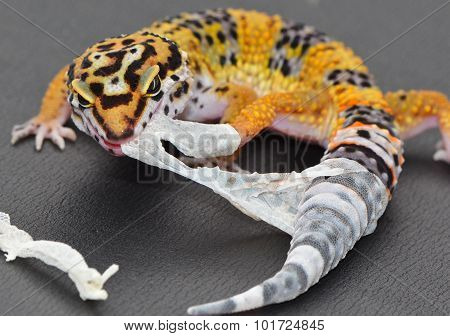 A juvenile leopard gecko pulling the shedding skin off of his leg and tail.