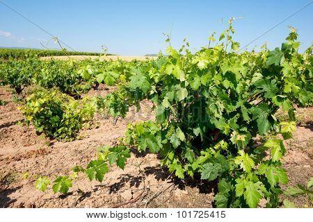 Vineyard in La Rioja, Spain.