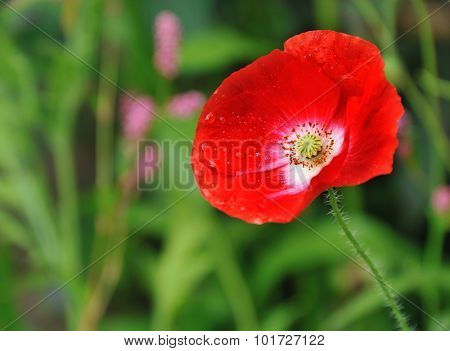 red poppy in summer flower bed closeup