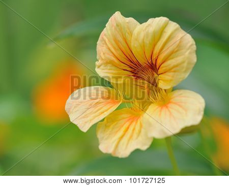 nasturtium in flower bed  in summer  garden closeup