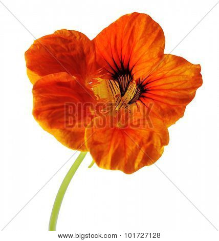 single flower of orange nasturtium isolated on white background