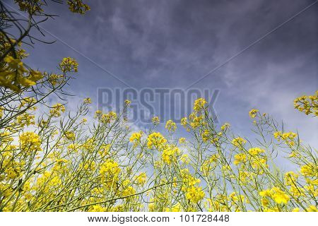 Yellow Rapeseed Flower Field And Blue Sky, In Greece