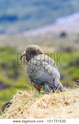Close Up Beautiful Color Feather ,plumage Of Kea Birds With Blur Background ,kea Important Animals S