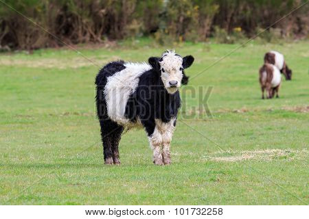 Lovely Young Livestock Cow In Animals Farm