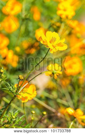Yellow Cosmos Flowers