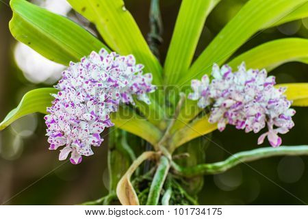 Large Bunch Of White Purple Orchid Flower