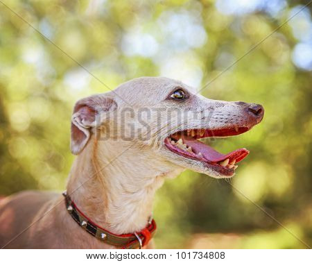 a cute italian greyhound dressed in a red sweater panting with her tongue out in a park setting during later summer or early fall on a sunny day