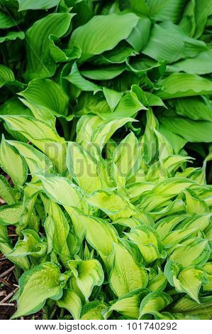 beautiful green hosta leaves in summer garden