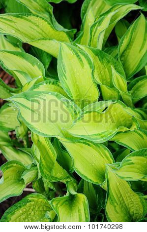 beautiful hosta leaves in summer garden