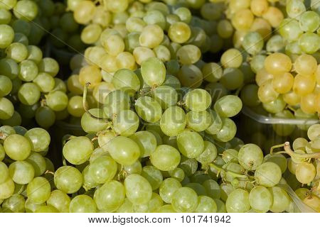 Harvested Grapes On Vineyards
