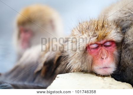 Close up of a little Snow Monkey Japanese Macaques