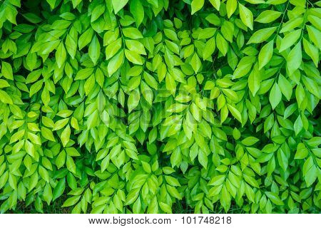 Green Leaf Background 1