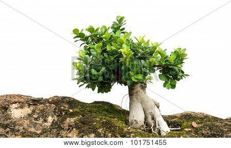 Stone And Bonsai Tree Isolated  1