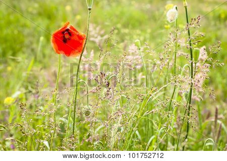 Red poppies flowers in the grass. Summer flowers backgrounds.