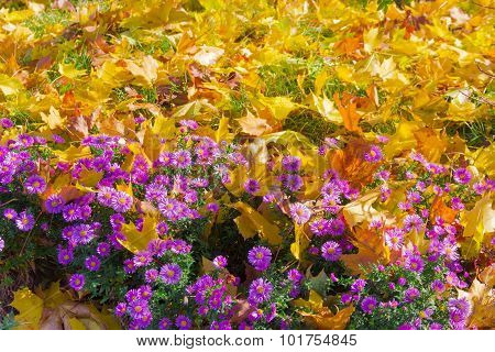 ?hrysanthemums And A Lawn With Grass Under The Fallen Leaves