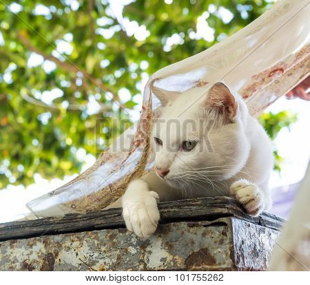 White Cat On Table With  Fly Scarf 1