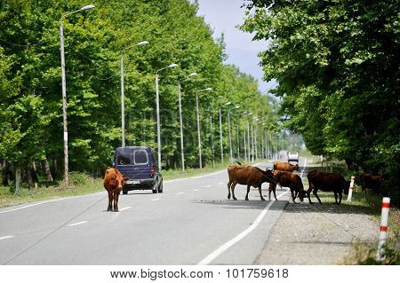 Cows On The Road In Georgia