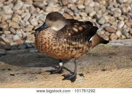 Crested duck (Lophonetta specularioides). Wild life animal.