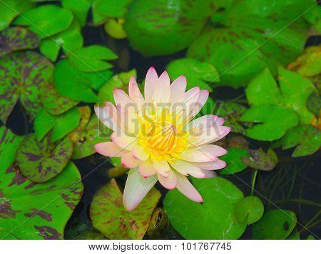 Lotus, A Symbol Of The Birth.